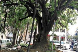 Menos de un tercio del arbolado de las calles de Palma está bien ubicado