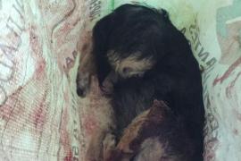 La Guardia Civil investiga la muerte de un perro a tiros en un camino de Porreres
