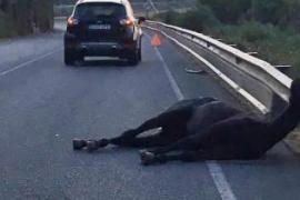 Una yegua suelta provoca un accidente en Menorca
