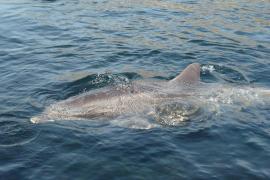 Rescatado un delfín atrapado en una moruna cerca del Port d'Andratx