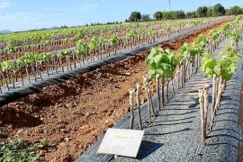 Solo sobrevive el 50 % de los injertos de viña realizados para esquivar la 'Xylella'