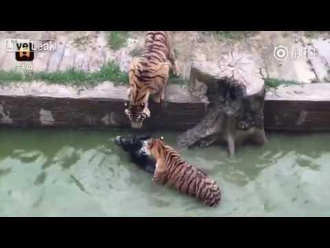 Un vídeo muestra cómo dan de comer un burro vivo a los tigres en un zoo de China
