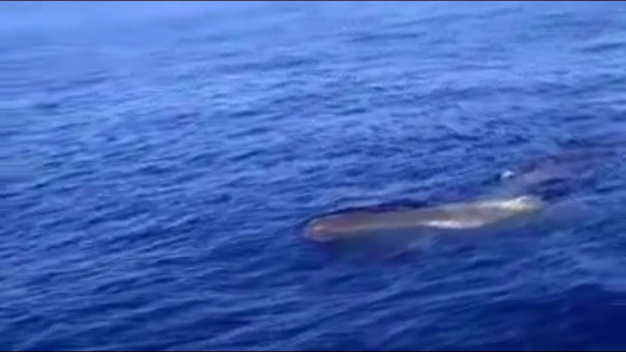 Un gran cetáceo sorprende a una embarcación entre Mallorca y Barcelona