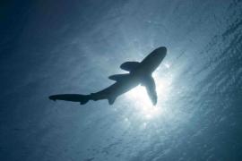 Desalojan una playa en Valencia por la presencia de un tiburón de metro y medio