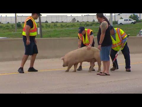 Un camión cargado de cerdos vuelca y provoca un gran colapso circulatorio