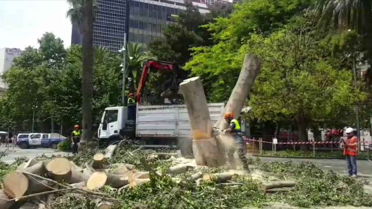 Indignación por la tala de un árbol centenario en la Plaza de España de Palma