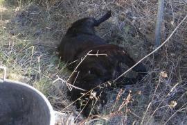 Denuncian que un perro muerto lleva tirado varios días en un camino de Manacor