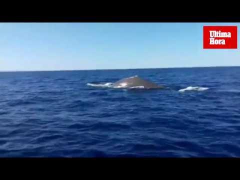 Espectacular avistamiento de una ballena en aguas de Mallorca