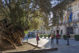 El olivo de Cort, vallado por precaución