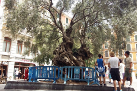 Olivo de la plaza de Cort