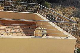 Denuncian el abandono de un perro sin agua ni comida en la terraza de un chalet de Marratxí