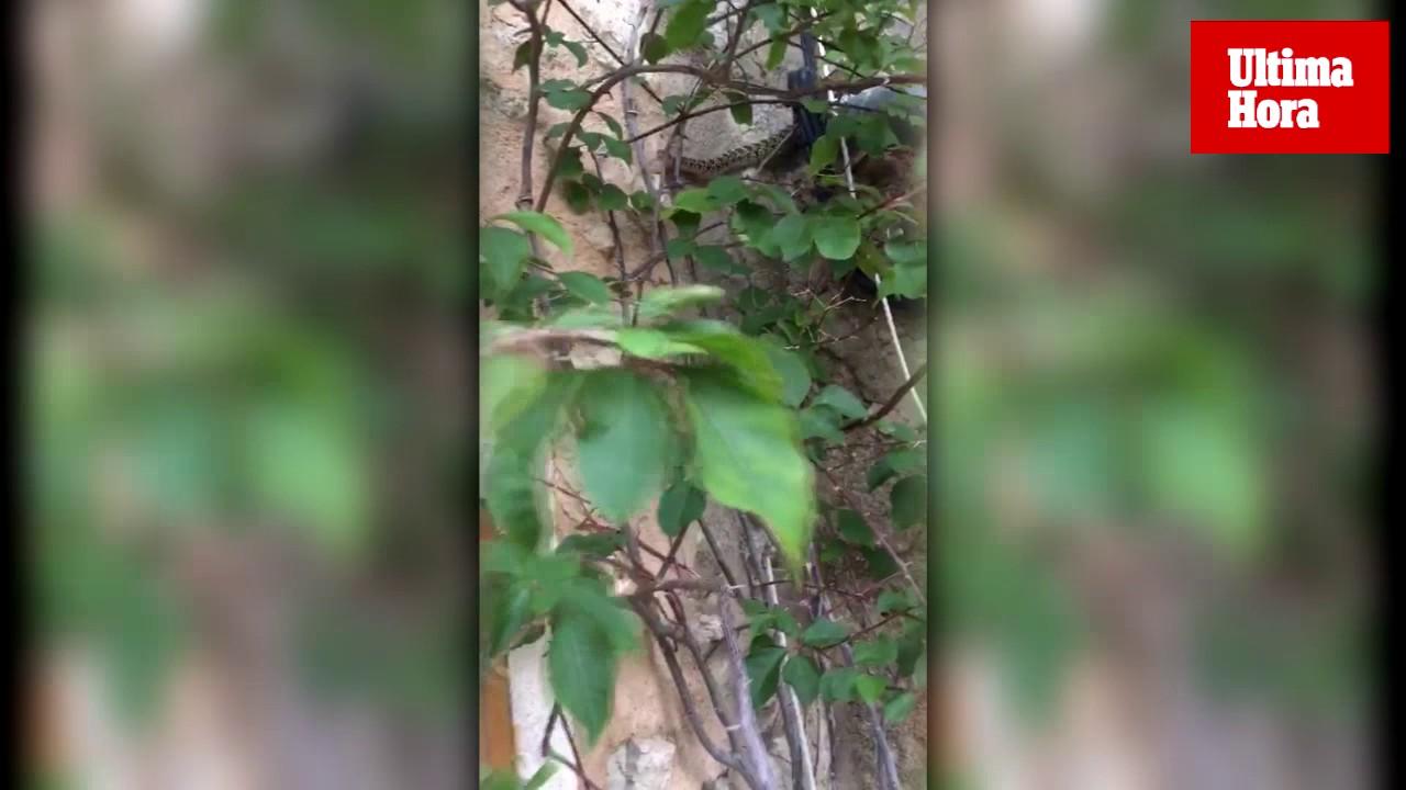 Unos vecinos detectan la primera serpiente de herradura de la Serra de Tramuntana