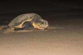 Palma Aquarium recibirá tortugas marinas heridas o enfermas desde Ibiza y Menorca