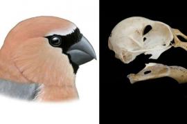 Un equipo del Imedea descubre los huesos de un pinzón extinto