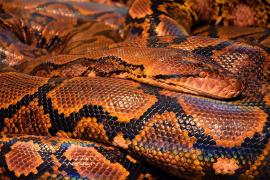 Un niño chino sobrevive 24 días alimentándose de carne de serpiente