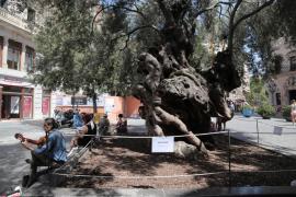 El Ayuntamiento de Palma instala nuevas medidas de protección sobre la olivera de Cort