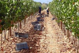 La vendimia se avanza por el fuerte calor en una cosecha que se prevé de buena calidad