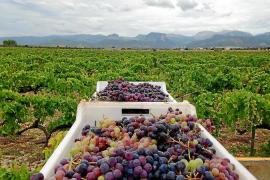 La alta demanda y el 'boom' de nuevas bodegas disparan el precio del kilo de uva