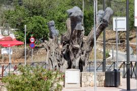 El Govern reitera que la «erradicación» de la 'Xylella' «es imposible»