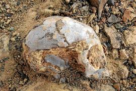 Un cráneo de 13 millones de años arroja luz sobre el antepasado común de los simios y humanos