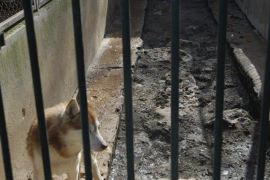 El Centro Canino Internacional demanda al mayor criadero de 'huskys' de la UE