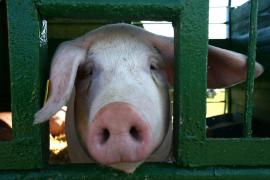 Cerdos sin retrovirus abren la puerta al trasplante de sus órganos a humanos