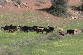 Cazadores con lazo saldrán una vez al mes a la finca de Ariant, en Pollença, para regular la población de cabras