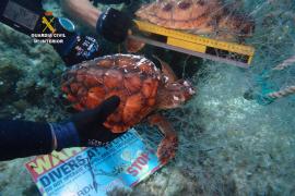 Recuperada una red de pesca con dos tortugas marinas atrapadas en Cala Rajada
