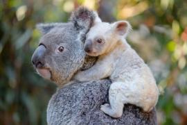 Buscan nombre para una rara cría de koala blanca