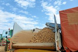 Los exportadores de patata de sa Pobla, en pie de guerra por la tasa de basuras