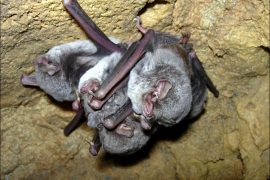 Los murciélagos de s'Albufera de Mallorca, favorecidos por la instalación de una cincuentena de cajas refugio