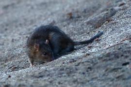 Herida grave una joven parapléjica por un ataque de ratas en su casa