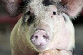 Cinco detenidos por tirar 300 toneladas de restos de cerdos enfermos a una montaña