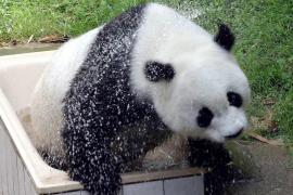 Muere en China la osa 'Basi', el panda más viejo del mundo en cautividad