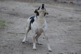 Una región rusa prohibirá a los perros ladrar «fuera de horario»