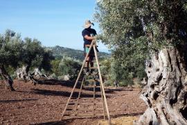La DO Oliva de Mallorca prevé una campaña récord con la producción de 100 toneladas