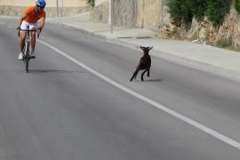 Un grupo de cabras salvajes provocan de nuevo el caos en el Port de Andratx