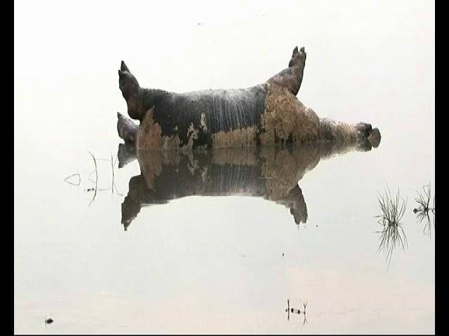 Un centenar de hipopótamos muere en Namibia debido a un brote de ántrax maligno
