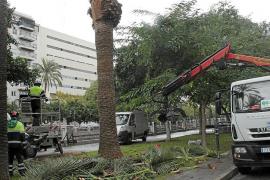 La plaga de picudo rojo ya está controlada en las palmeras de Palma