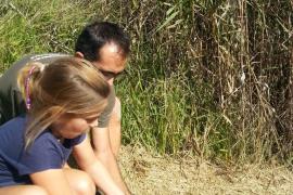 Liberan ejemplares de cerceta pardilla, una ave en peligro de extinción, en s'Albufera