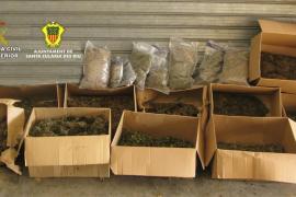 La Guardia Civil y la Policía Local de Santa Eulària desmantelan once plantaciones de marihuana