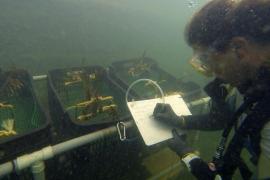 La bahía de Pollença acoge un proyecto para la recuperación de la posidonia