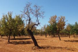 Europa aprueba el protocolo de contención de xylella fastidiosa en Baleares
