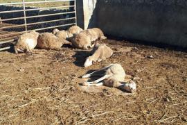 Seis perros entran en una finca ganadera de Inca y matan a una decena de ovejas