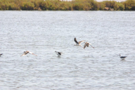 El Parc Natural de es Trenc recuperará los hábitats y tendrá un observatorio de aves