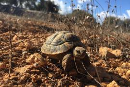 Liberan a un centenar de tortugas de tierra en la marina de Llucmajor