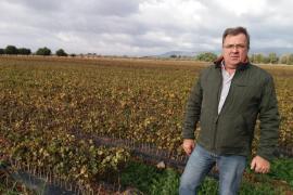 Los bodegueros piden ayuda para salvar de la 'Xylella' la siembra de nueva viña autóctona