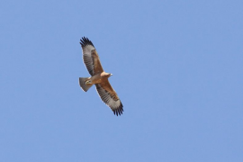 Logran que el águila perdicera sea autosostenible en Mallorca
