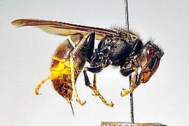 Fallece un vecino de Pontevedra tras sufrir un ataque de avispa asiática