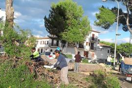Alarma en Artà por el estado de los pinos de l'Avinguda Costa i Llobera